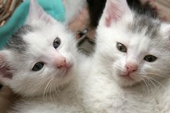 kattungar little två Arkivfoto