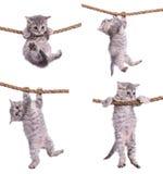 Kattungar med repet royaltyfri foto