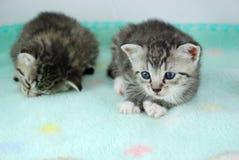 kattungar nyfödda två arkivfoto