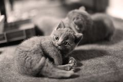Kattungar och moder på en matta som ser upp Royaltyfri Foto