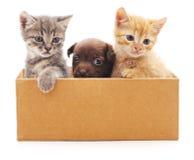 Kattungar och valp i en ask Arkivbilder