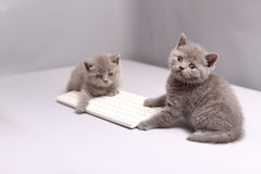 Kattungar på ett tangentbord Royaltyfri Fotografi