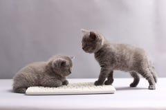 Kattungar på ett tangentbord Arkivfoto
