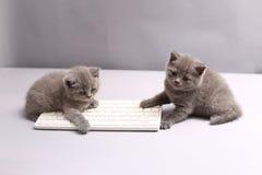 Kattungar på ett tangentbord Fotografering för Bildbyråer