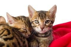 Kattungar på rött piskar smekning Arkivbilder