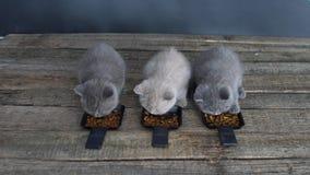 Kattungar som äter älsklings- mat från små magasin stock video