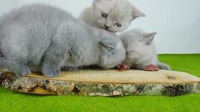 Kattungar som äter rått kött lager videofilmer