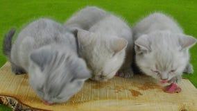 Kattungar som äter rått kött stock video