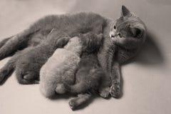 Kattungar som diar för modern, brittisk Shorthair avel fotografering för bildbyråer