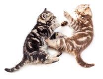 kattungar som leker kämpa tillsammans två Arkivfoton