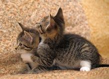 kattungar som leker två Arkivbilder
