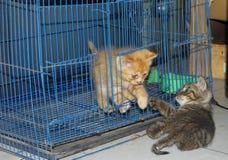 kattungar som leker två Fotografering för Bildbyråer