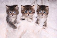 Kattungar som ligger i säng med filten Fotografering för Bildbyråer