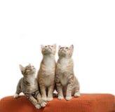 Kattungar som sitter och ser på den skrapade orange tygsoffan Royaltyfria Foton