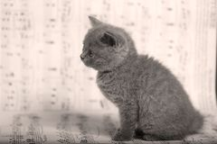 Kattungar som sitter på ett musikark, bakgrund Arkivbild