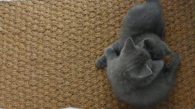Kattungar som slåss på ett mattt för dörr stock video