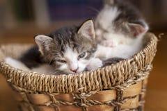 Kattungar som sover i en vide- korg arkivbild