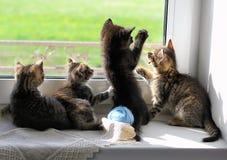 Kattungar som spelar på fönsterbräda Fotografering för Bildbyråer