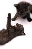 kattungar som tillsammans leker Royaltyfri Foto