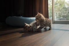 Kattungar som tillsammans palying Royaltyfri Fotografi