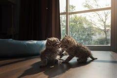 Kattungar som tillsammans palying Royaltyfria Bilder