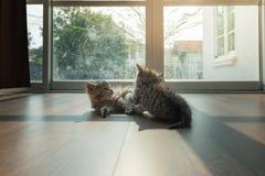 Kattungar som tillsammans palying Arkivbilder