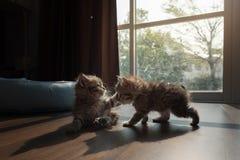 Kattungar som tillsammans palying Arkivbild