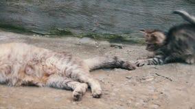 Kattungar spelas med en katt