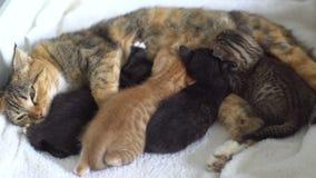 Kattungar suger mjölkar från mammakatter stock video