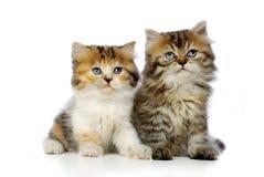 kattungar två Arkivfoto