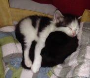 kattungar två Royaltyfri Fotografi