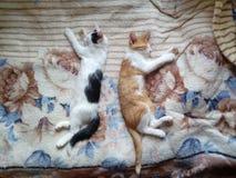 kattungar två Arkivbild