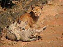 kattungar två Fotografering för Bildbyråer