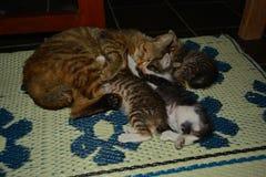 Kattungarna Royaltyfri Foto