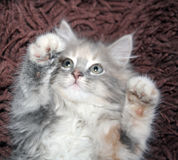 kattunge 2 tafsar upp Arkivbild