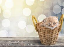 Kattunge Arkivbild