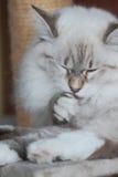 Kattunge av den siberian aveln Royaltyfri Fotografi