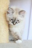 Kattunge av den siberian aveln Arkivbild
