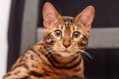 Kattunge av en Bengal katt royaltyfri bild