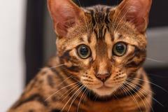 Kattunge av en Bengal katt arkivfoton