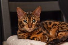 Kattunge av en Bengal katt royaltyfria foton