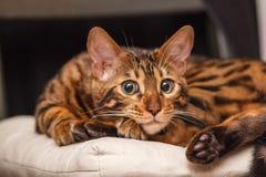 Kattunge av en Bengal katt royaltyfri foto