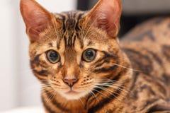 Kattunge av en Bengal katt fotografering för bildbyråer