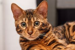 Kattunge av en Bengal katt royaltyfri fotografi