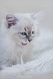 Kattunge av nevamaskeraden Arkivfoton