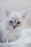 Kattunge av nevamaskeraden Arkivbilder