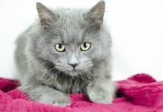 Kattunge för hår för fluffiga grå färgblått medel Fotografering för Bildbyråer