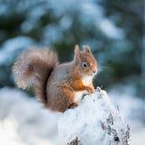 Kattunge för röd ekorre i snö Arkivbild