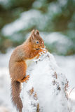 Kattunge för röd ekorre som söker för mat under vinter Arkivfoton