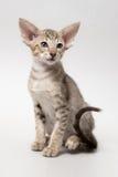Kattunge för röd strimmig katt för söt choklad orientalisk Royaltyfria Bilder